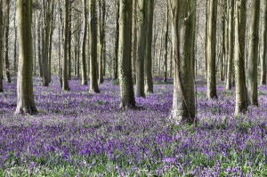 http://www.dreamstime.com/stock-photo-bluebells-image29632280